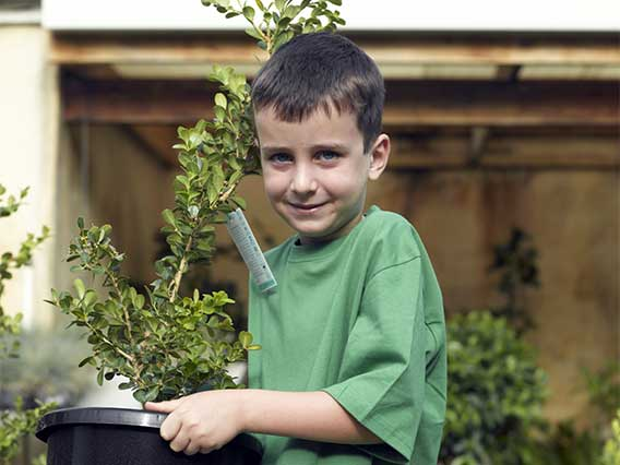 Small boy carrying a potted rosebush